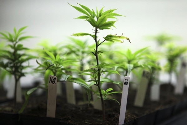 A young cannabis strain is seen at Northwest Patient Resource Center in Seattle, Washington